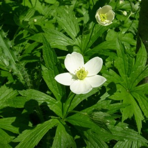 Anemone canadensis - Canadian anemone 2