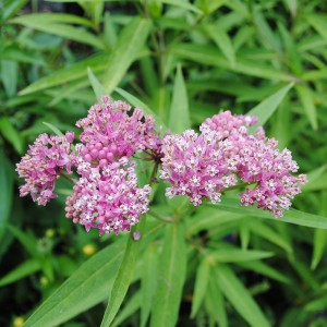 Asclepias incarnata - swamp milkweed 3