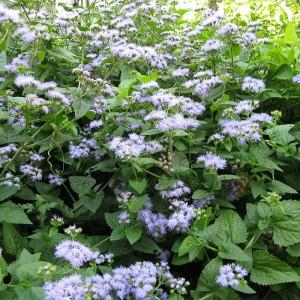 Conoclinium coelestinum - blue mistflower 1