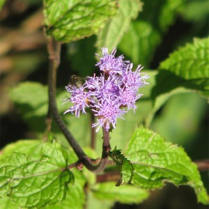 Conoclinium coelestinum - blue mistflower 2