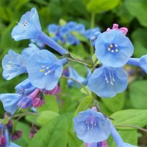 Mertensia virginica - Virginia bluebells 1