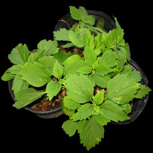 pachysandra procumbens - Allegheny spurge potted