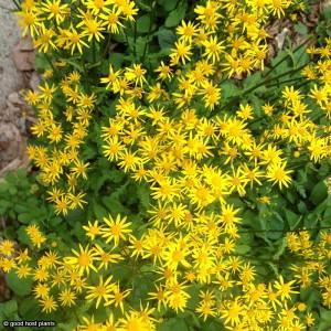 Packera aurea - Golden ragwort 3