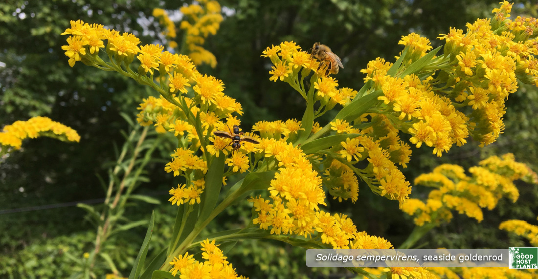 Solidago sempervirens in pollinator garden